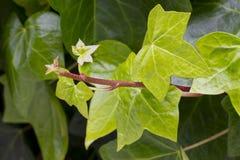 Nouvelles feuilles de hedera Photographie stock