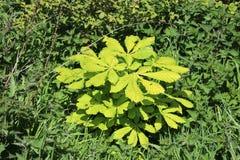Nouvelles feuilles sur le nouvel arbre minuscule de marron d'Inde image libre de droits