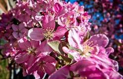 Nouvelles fleurs de cerisier une journée de printemps chaude photos stock