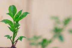 Nouvelles jeunes feuilles sur l'arbre images libres de droits