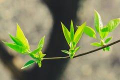 Nouvelles jeunes feuilles sur l'arbre photos libres de droits