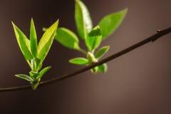 Nouvelles jeunes feuilles sur l'arbre photo libre de droits