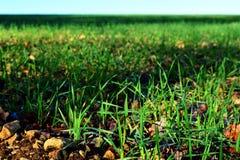 Nouvelles jeunes plantes de blé dans le domaine Photo stock