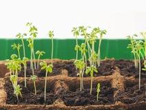 Nouvelles pousses de ressort de début dans le sol Jeune plante de salade verte images libres de droits