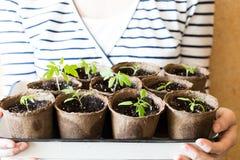 Nouvelles pousses des tomates avec des feuilles de la terre dans des pots sur la boîte photographie stock