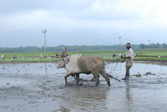 Manual ploughing of agriculture land with bullocks Stock Photos