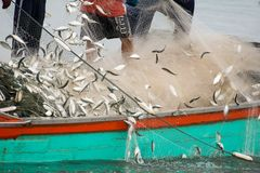 On the fisherman boat, Catching many fish. NOV 5,2016 : On the fisherman boat,Catching many fish at mouth of Bangpakong river in Chachengsao Province east of Royalty Free Stock Photography