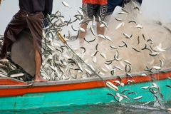 On the fisherman boat, Catching many fish. NOV 5,2016 : On the fisherman boat,Catching many fish at mouth of Bangpakong river in Chachengsao Province east of Stock Image