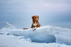 Nova Scotia-de Retriever van de eendtol ligt op een ijsijsschol Royalty-vrije Stock Foto's