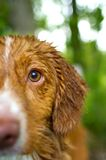 Nova Scotia Duck Toller Stock Images