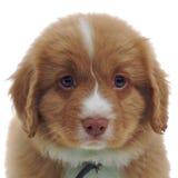 Nova Scotia Duck Toller puppy Stock Photos