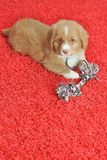 Nova Scotia Duck Toller Puppy Royalty Free Stock Photography