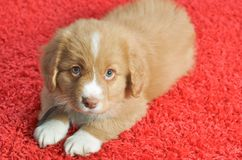 Nova Scotia Duck Toller puppy Stock Photo