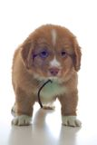 Nova Scotia Duck Toller puppy Stock Image