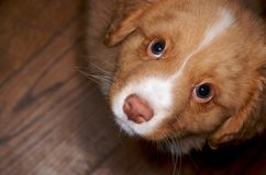 Nova Scotia Duck Toller puppy Stock Photography