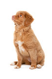 Nova Scotia Duck Tolling Retriever Stock Photo