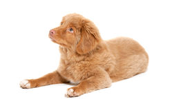 Nova Scotia Duck Tolling Retriever Stock Images