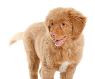 Nova Scotia Duck Tolling Retriever Royalty Free Stock Photos