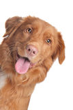 Nova Scotia Duck Tolling Retriever Stock Image