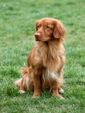 Nova Scotia Duck Tolling Retriever Royalty Free Stock Image