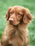 Nova Scotia Duck Tolling Retriever Stock Photos