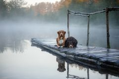 Nova Scotia duck tolling Retriever and Australian shepherd dog o. Nova Scotia duck tolling Retriever and Australian shepherd lying on wooden pier by lake stock photo