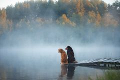 Nova Scotia duck tolling Retriever and Australian shepherd dog o. Nova Scotia duck tolling Retriever and Australian shepherd sitting on a wooden pier by a lake stock photography