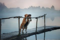 Nova Scotia duck tolling Retriever and Australian shepherd dog o. Nova Scotia duck tolling Retriever and Australian shepherd standing on a wooden pier by a lake stock image