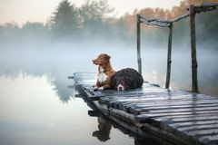 Nova Scotia duck tolling Retriever and Australian shepherd dog o. Nova Scotia duck tolling Retriever and Australian shepherd lying on wooden pier by lake stock photography