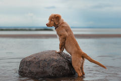 Nova Scotia Duck Tolling Retriever on the beach Stock Photography