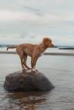 Nova Scotia Duck Tolling Retriever on the beach Royalty Free Stock Image