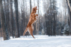 Nova Scotia Duck Tolling Retriever Breed Dog High Jumping Outdoors Royalty Free Stock Photo