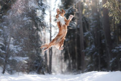Nova Scotia Duck Tolling Retriever Breed Dog High Jumping Outdoors Royalty Free Stock Image