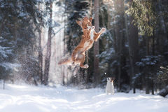 Nova Scotia Duck Tolling Retriever breed dog high jumping outdoors. In park Stock Photography