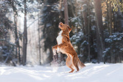 Nova Scotia Duck Tolling Retriever breed dog high jumping outdoors. In park Stock Image