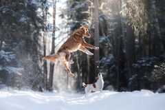 Nova Scotia Duck Tolling Retriever breed dog high jumping outdoors. In park Royalty Free Stock Photography