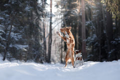 Nova Scotia Duck Tolling Retriever breed dog high jumping outdoors. In park Royalty Free Stock Photo