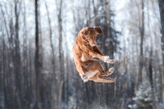 Nova Scotia Duck Tolling Retriever breed dog high jumping outdoors Stock Image