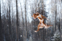 Nova Scotia Duck Tolling Retriever breed dog high jumping outdoors. In park Stock Images