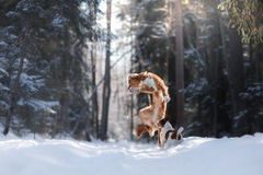 Nova Scotia Duck Tolling Retriever breed dog high jumping outdoors. In park Stock Photo