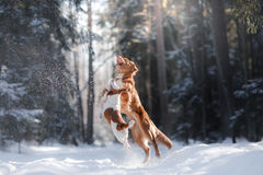 Nova Scotia Duck Tolling Retriever breed dog high jumping outdoors. In park Royalty Free Stock Image