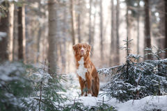 Nova Scotia Duck Tolling Retriever breed of dog in the woods in nature, winter season. Frost Stock Photos