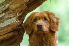 Nova Scotia Duck Tolling Retriever dans la forêt images stock