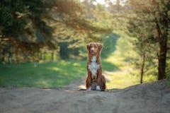 Nova Scotia Duck Tolling Retriever in de bosstijging met een hond royalty-vrije stock afbeeldingen