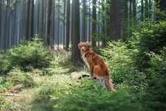 Nova Scotia Duck Tolling Retriever in de bosstijging met een hond royalty-vrije stock afbeelding