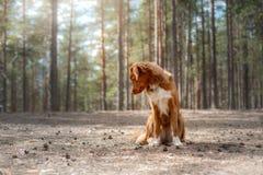 Nova Scotia Duck Tolling Retriever in de bosstijging met een hond stock foto