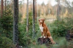 Nova Scotia Duck Tolling Retriever in de bosstijging met een hond stock afbeeldingen