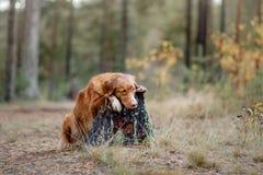 Nova Scotia Duck Tolling Retriever in de bosstijging met een hond royalty-vrije stock foto