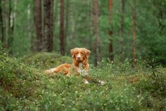 Nova Scotia Duck Tolling Retriever in de bosstijging met een hond royalty-vrije stock fotografie