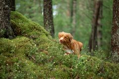 Nova Scotia Duck Tolling Retriever in de bosstijging met een hond stock fotografie